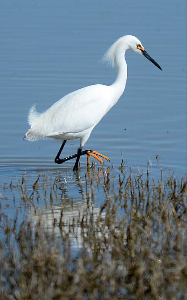 Al Hartmann  |  The Salt Lake Tribune May is a time when nearly all of the breeding bird species are present on the Bear River Migratory Bird Refuge west of Brigham City, like this snowy egret wading the shallows to feed.