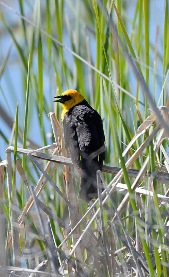 Al Hartmann  |  The Salt Lake Tribune A yellow-headed blackbird prefers the cover of cattails at the Bear River Migratory Bird Refuge west of Brigham City.  May is a time when nearly all of the breeding bird species are present on the refuge.