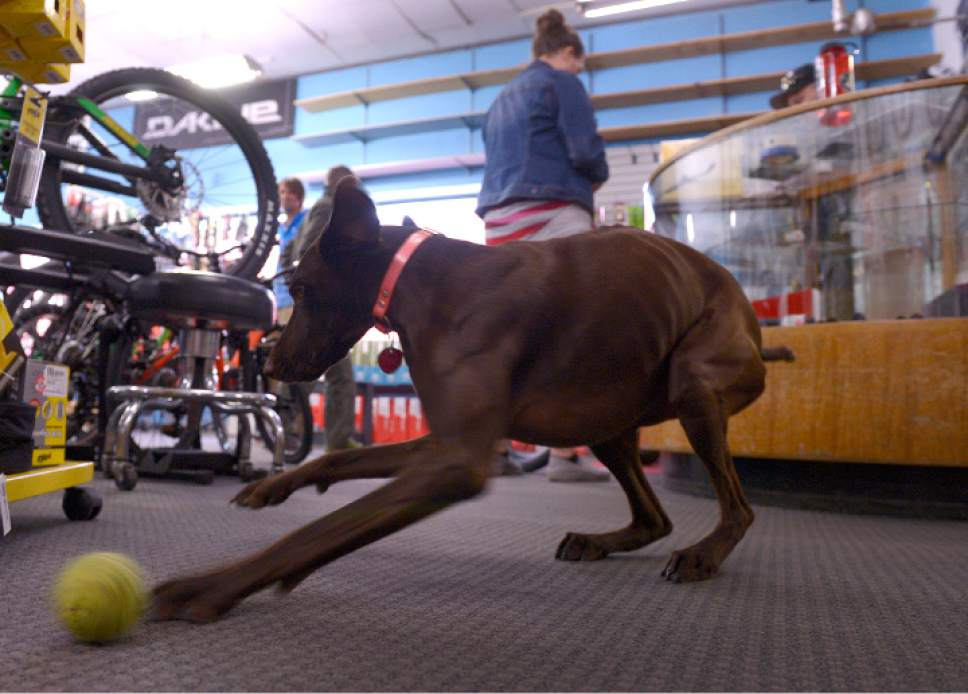 Leah Hogsten  |  The Salt Lake Tribune Dogs have always greeted customers at Wild Rose Sports, including Reggie, who will play fetch with anyone who passes a ball to her.  After 32 years in business, Tim Metos is closing Wild Rose Sports, a small shop in the Avenues that provided custom mountain bikes and Nordic skiing products, Wednesday, May 17, 2017.