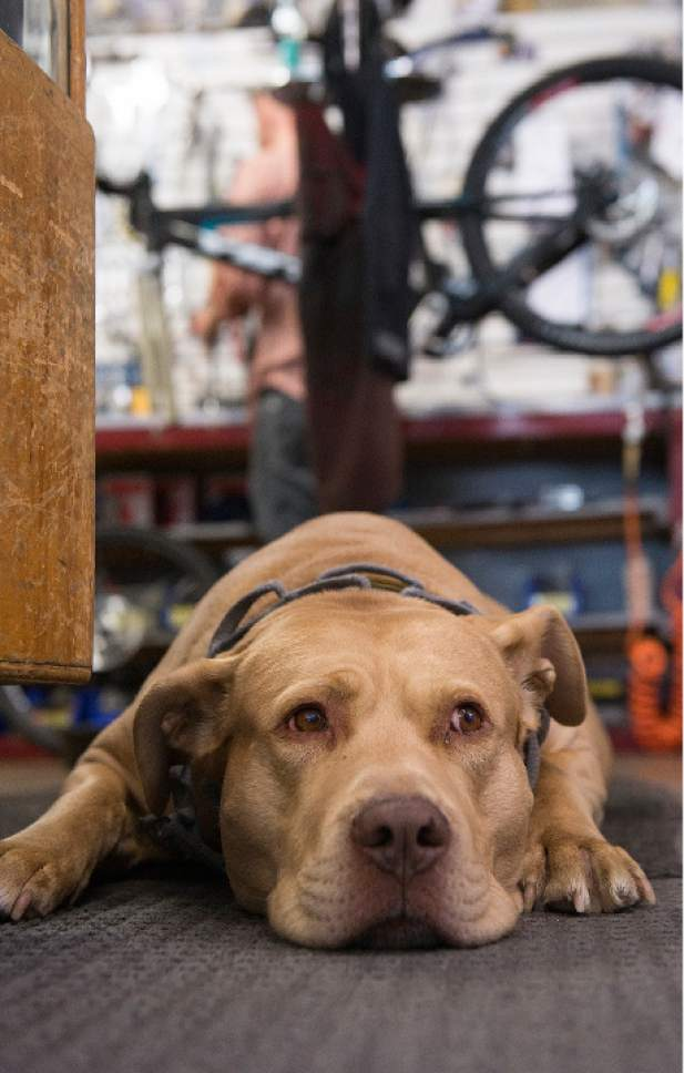 "Leah Hogsten  |  The Salt Lake Tribune Dogs have always greeted customers at Wild Rose Sports, including Gdaadg, pronounced ""Dag"", who is affectionately also called ""buttercup"" and ""rug"".  After 32 years in business, Tim Metos is closing Wild Rose Sports, a small shop in the Avenues that provided custom mountain bikes and Nordic skiing products, Wednesday, May 17, 2017."