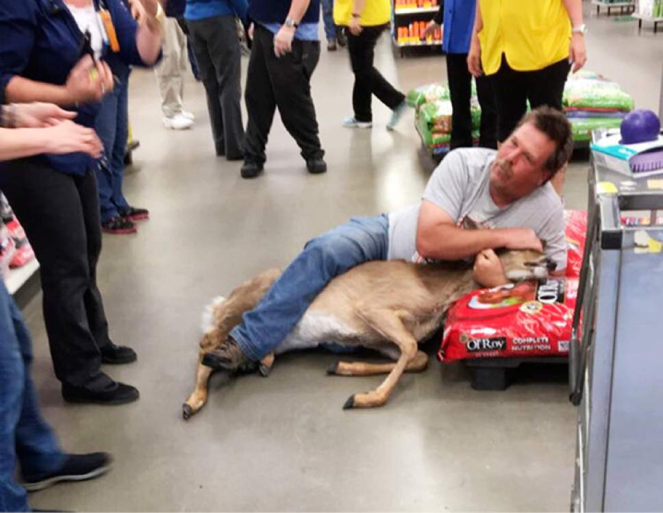 The Tuesday, May 16, 2017, photo, provided by Stephanie L Koljonen shows Tom Grasswick, a customer at a Walmart store in Wadena, Minn., holding onto a confused white-tailed deer that wandered into the store. Grasswick covered the eyes of the startled deer and he and others managed to remove the animal and set it free outdoors. (Stephanie L Koljonen via AP)