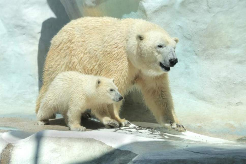    Courtesy Utah's Hogle Zoo  Two young polar bears, Nora and Hope, will be transferred to Utah's Hogle Zoo this fall. Hope with her mother, Crystal.