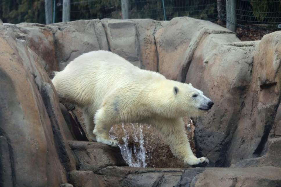   Courtesy Utah's Hogle Zoo  Two young polar bears, Nora and Hope, will be transferred to Utah's Hogle Zoo this fall. Nora at the Oregon Zoo.