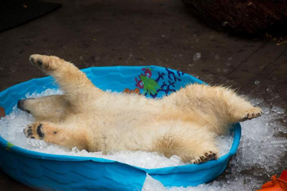    Courtesy Utah's Hogle Zoo  Two young polar bears, Nora and Hope, will be transferred to Utah's Hogle Zoo this fall. Nora plays in a pool of ice.