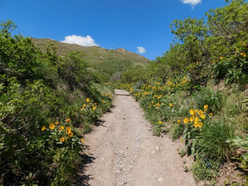 Erin Alberty | The Salt Lake Tribune Arrowleaf Balsamroot Blooms May 9,  2017 Along The Part 63