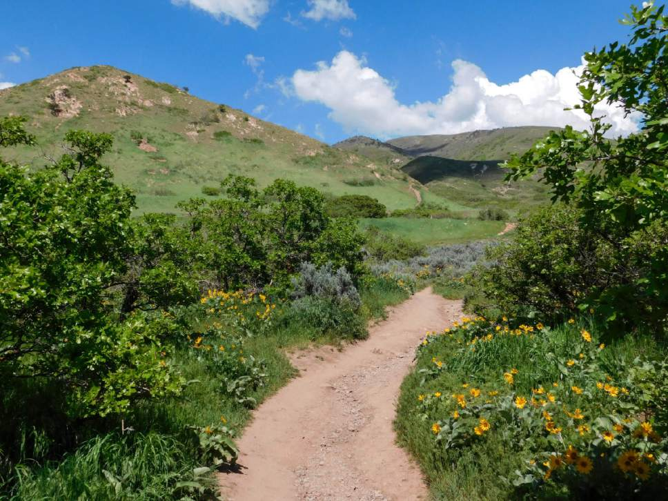 Erin Alberty | The Salt Lake Tribune Arrowleaf Balsamroot Blooms May 9,  2017 Along The