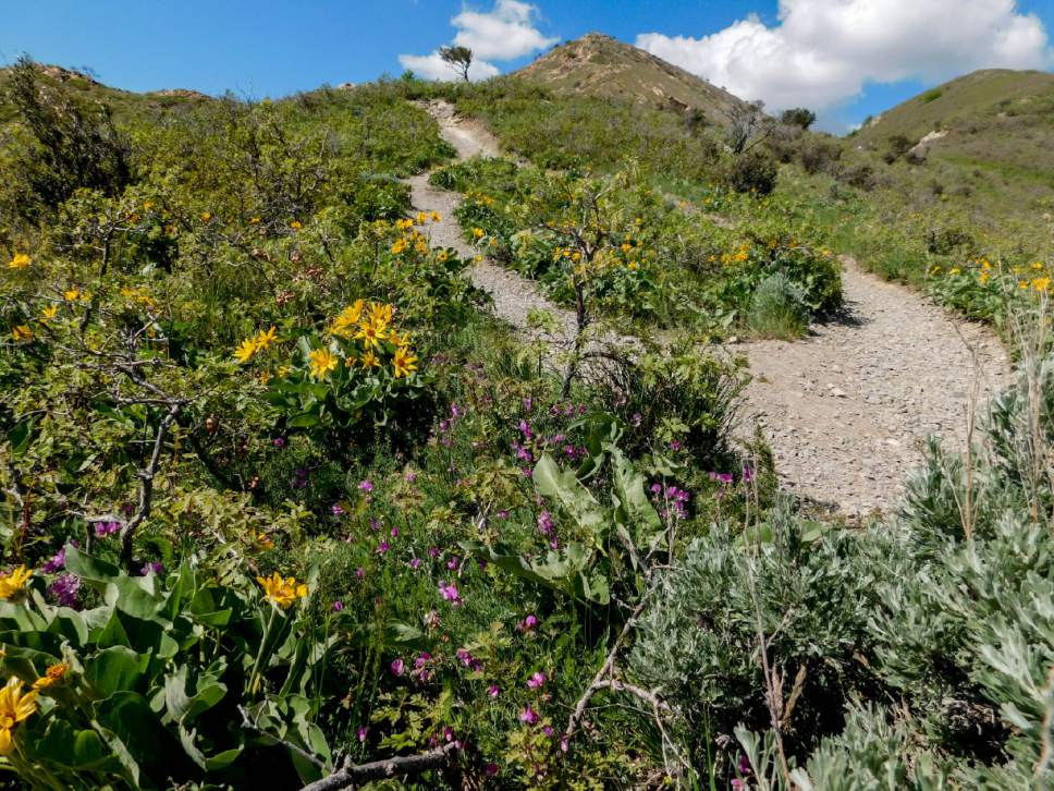 Erin Alberty | The Salt Lake Tribune Yellow Arrowleaf Balsamroot And Hot  Pink Sweetvetch Complement Each Part 46