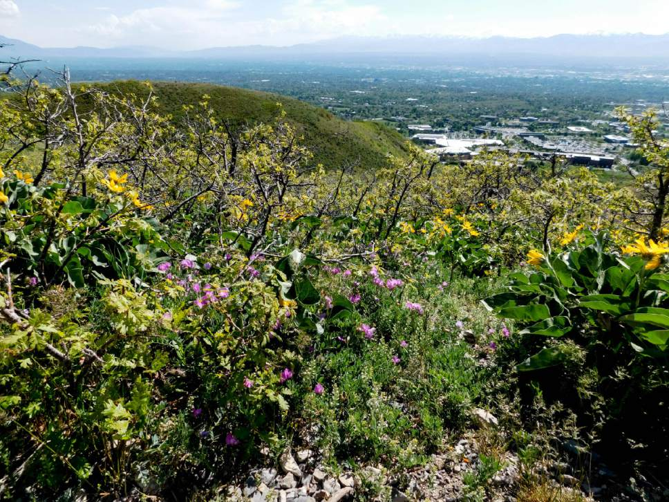 Erin Alberty | The Salt Lake Tribune Arrowleaf Balsamroot Blooms May 9,  2017 Along The Part 80
