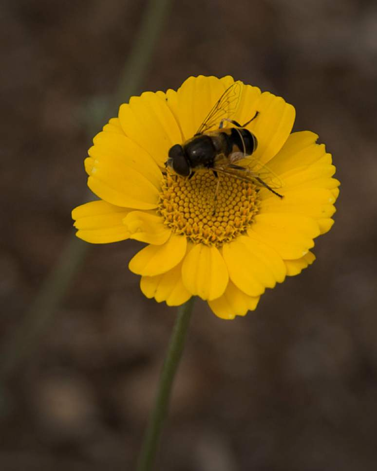 Leah Hogsten  |  The Salt Lake Tribune A bee lands on a filigree daisy at Red Butte's new Water Conservation Garden in Salt Lake City.