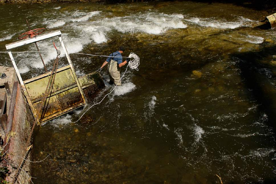 Trent Nelson  |  The Salt Lake Tribune Nathan Tolman works to put in a dam to divert and lower water levels in the Provo River as the search for a missing 4-year-old girl continued, Tuesday May 30, 2017.