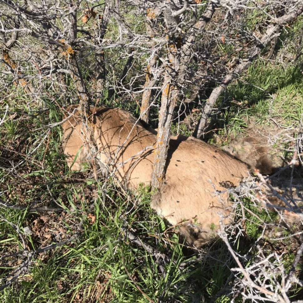 north salt lake cougar women This cougar, found in early may above north salt lake, is believed to have been illgeally shot its skull was also removed.