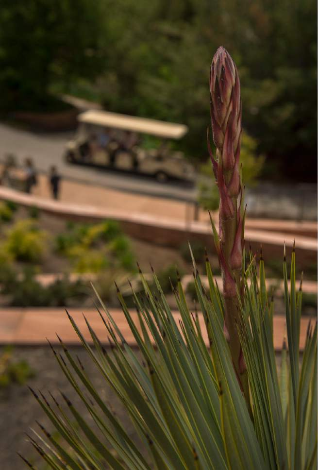 Leah Hogsten  |  The Salt Lake Tribune Beaked yucca, originally from southern Texas, has taproots that are able to reach deep water supplies in zones 7-11, for sun and drought tolerance. Red Butte's new Water Conservation Garden is designed to demonstrate that beautiful gardens do not require heavy applications of water.