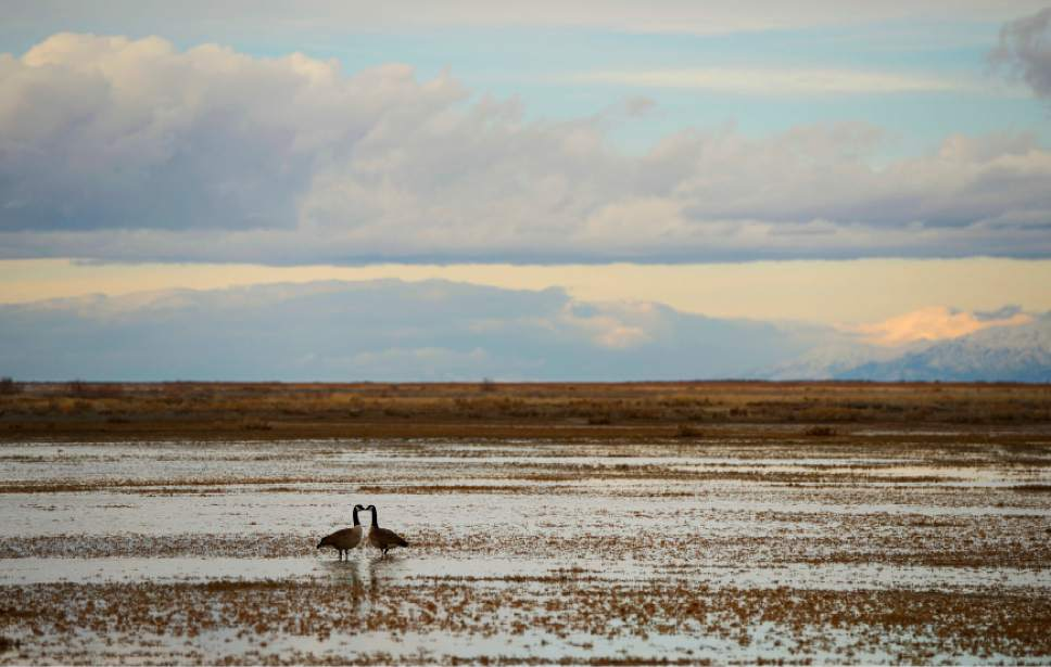 Francisco Kjolseth  |  Tribune file photo   A pair of geese appear to touch beaks as they forage in the shallows of the Great Salt Lake on Thursday, Feb.13, 2014.