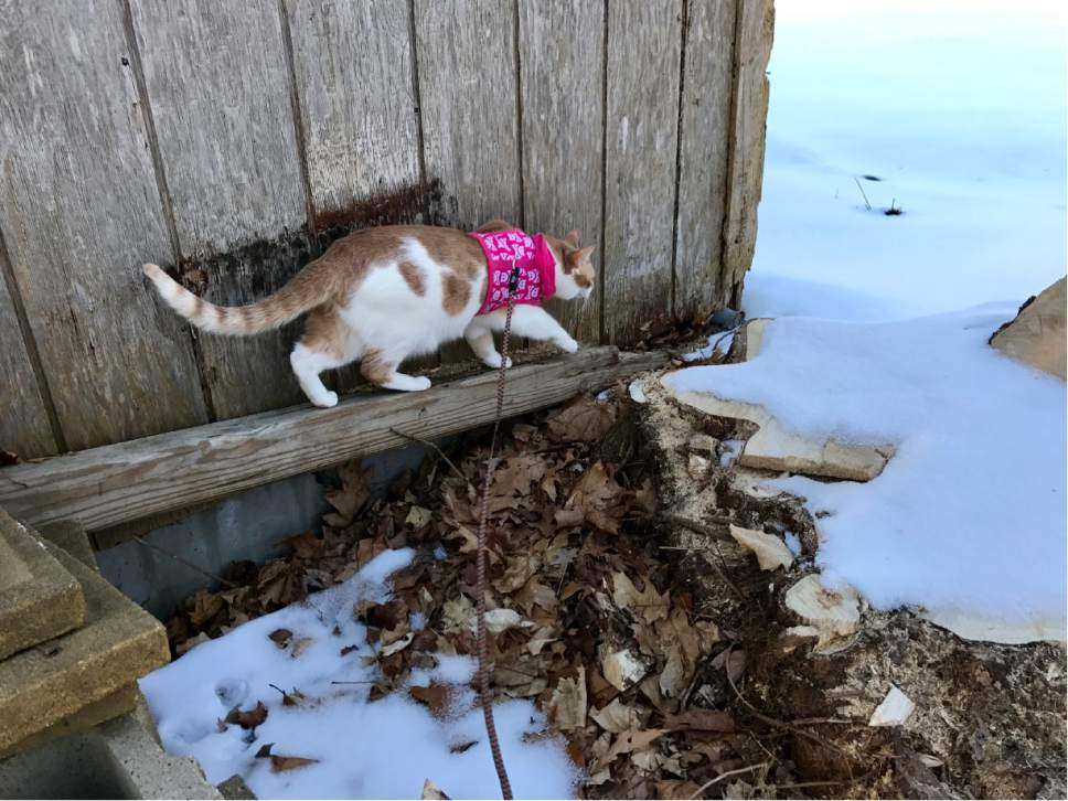 This March 20, 2017 photo provided by Georgina Saravia shows her cat Sushi on a leash navigating around a structure in Greenland, N.H. (Georgina Saravia via AP)