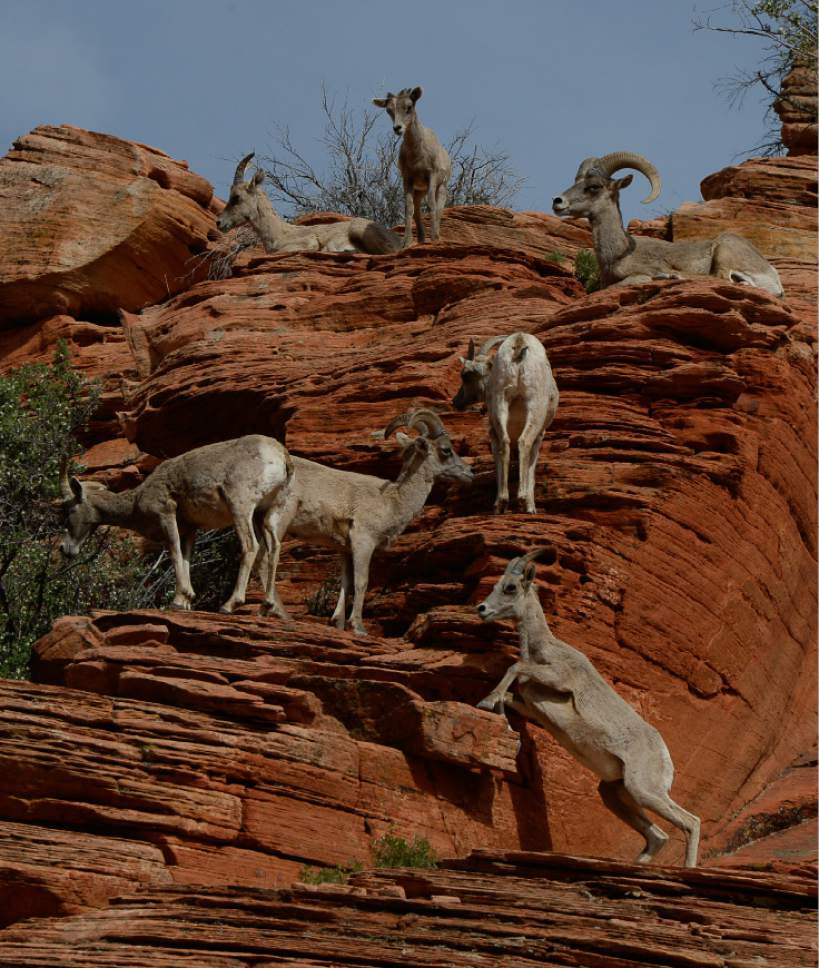 Franciso Kjolseth  |  Tribune file photo A group of desert bighorn sheep near the Checkerboard Mesa in Zion National Park hang out near the road in 2014.