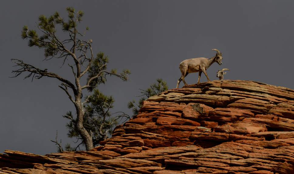 Franciso Kjolseth  |  The Salt Lake Tribune  A group of desert bighorn sheep near the Checkerboard Mesa in Zion National Park hang out near the road on April, 21 2014.