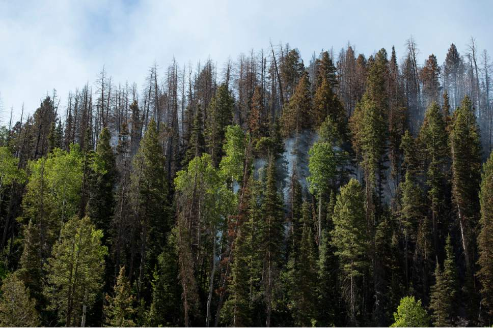 Leah Hogsten  |  The Salt Lake Tribune Wildfire burns Monday, June 19, 2017, north of Brian Head. Some of the reddening and graying spruce trees, attacked by bark beetles, can be seen.