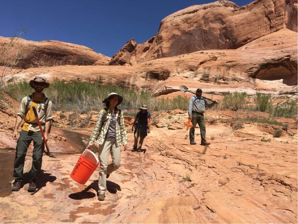 Ka-Voka Jackson's research team hikes to a planting site at Glen Canyon National Recreation Area, where they are trying to rehabilitate canyons infested with ravenna grass. Courtesy Ka-Voka Jackson
