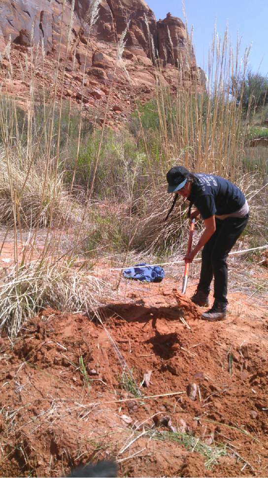 Ka-Voka Jackson digs into a planting site at Glen Canyon National Recreation Area. Jackson is leading a team of researchers in a project to learn how best to eradicate invasive ravenna grass from Lake Powell's side canyons and replant with native species. Courtesy Ka-Voka Jackson