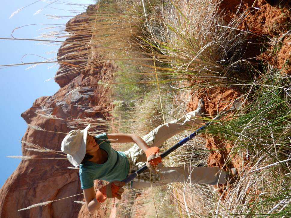 A member of Ka-Voka Jackson's research team digs a ravenna grass out of a side canyon in Glen Canyon National Recreation Area, where Jackson is studying invasive grasses. Courtesy Ka-Voka Jackson