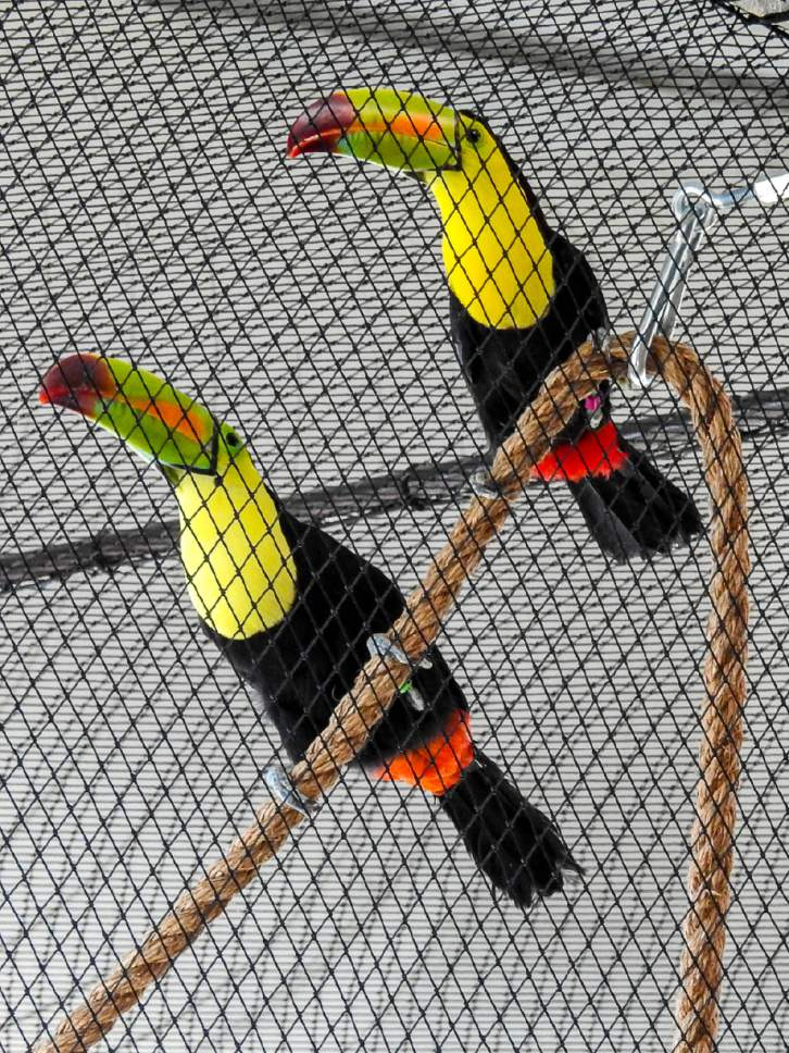 Trent Nelson  |  The Salt Lake Tribune The bird aviary in Draper's Loveland Living Planet Aquarium's Journey to South America exhibit has doubled in size, giving two new bird residents, Keel-billed toucans, an opportunity to breed. Friday June 30, 2017.