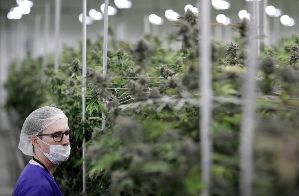 In this June 28, 2017, photo, Alessandro Cesario, the director of cultivation, looks at marijuana plants at the Desert Grown Farms cultivation facility in Las Vegas. Frenzied activity at these facilities have been focused on one goal: Getting ready for the start of recreational marijuana sales Saturday in Nevada. (AP Photo/John Locher)