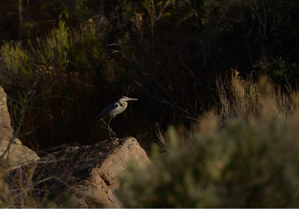 Leah Hogsten     The Salt Lake Tribune  A Great Blue Heron rests in Recapture Canyon, April 26, 2014. The BLM closed Recapture Canyon to motorized use in 2007 after trail builders caused more than $300,000 in damage to archaeological sites. San Juan County commissioner Phil Lyman is tired of waiting for the Bureau of Land Management to decide whether to allow ATVs back into Recapture Canyon and has rallied a May 10 to protest the BLM's lack of leadership and decision making.