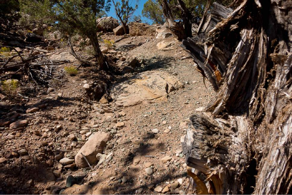 Trent Nelson     The Salt Lake Tribune Trail erosion and trees that have been cut in Recapture Canyon. The Bureau of Land Management is proposing to lease Racapture Canyon,  east of Blanding, for oil and gas development, along with other culturally important spots in Utah's San Juan County.