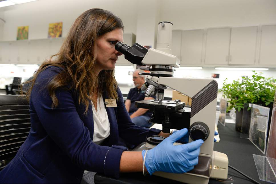 Francisco Kjolseth | The Salt Lake Tribune   Lisbeth Louderback, curator of archaeology at the Natural History Museum of Utah, looks through a microscope on Friday, June 30, 2017, as she focuses in on a starch granule known as Solanum Jamesii, a small potato believed to have been cultivated around Escalante 11,000 years ago. It could be an example of the first plant ever domesticated in what is now the western United States.