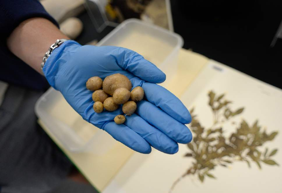Francisco Kjolseth  |  The Salt Lake Tribune University of Utah botanists and archaeologists believe potatoes may have been cultivated around Escalante 11,000 years ago. Recently botanists identified the starch granule Solanum Jamesii from an artifact provided by Brigham Young University Museum of Peoples and Cultures. Red Butte Gardens recently grew the small potato, seen here as a visual reference. Friday, June 30, 2017.