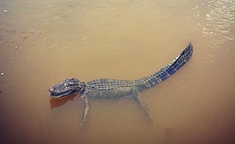 Gator in Utah Lake? It's a hoax