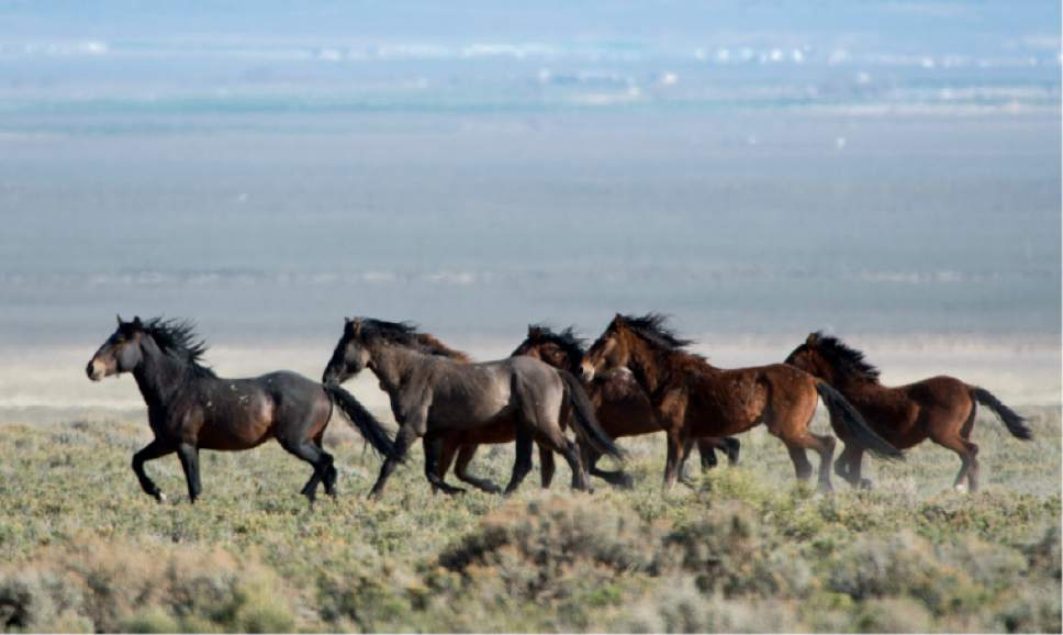 Rick Egan  |  Tribune file photo Wild horses, run free on BLM land northwest of Cedar City in 2014.