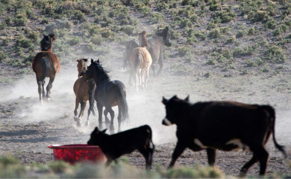 Rick Egan  |  Tribune file photo Wild horses roam around with cattle on BLM land northwest of Cedar City on  Wednesday, April 23, 2014.