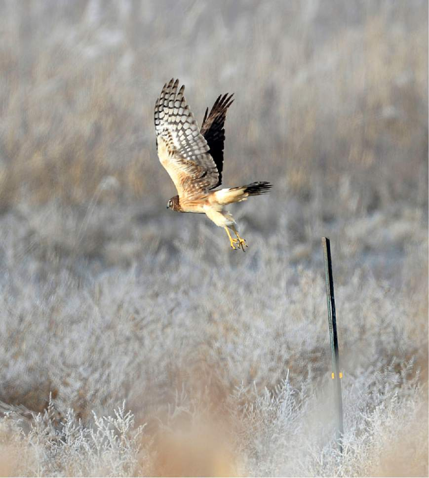 Al Hartmann  |  The Salt Lake Tribune A Northern Harrier Hawk leaves its perch to hunt for food in the marshes at Farmington Bay Waterfowl Management Area Wednesday Jan. 21, 2015.