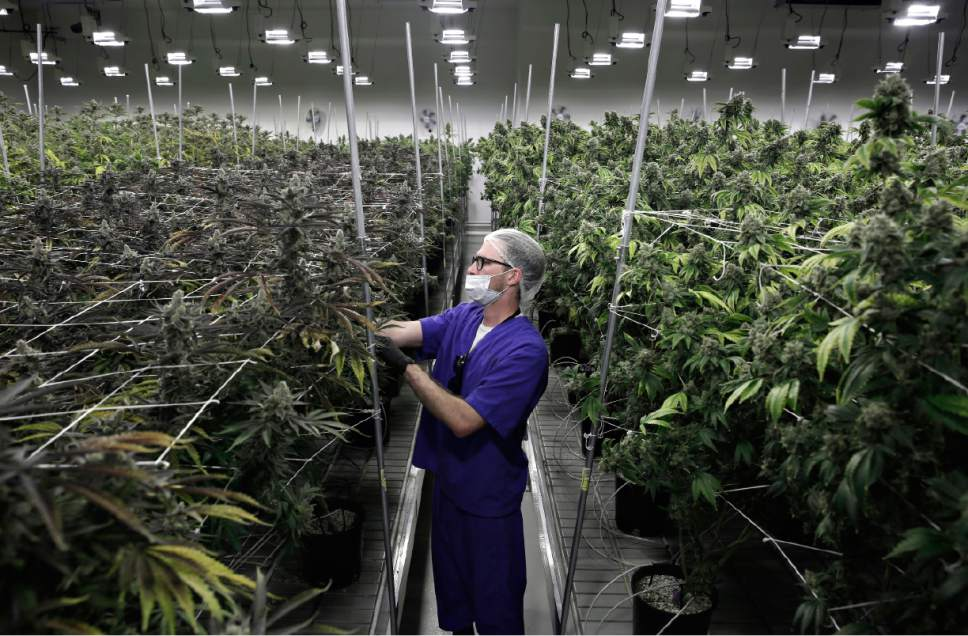 FILE - In this June 28, 2017, file photo, Alessandro Cesario, the director of cultivation, works with marijuana plants at the Desert Grown Farms cultivation facility in Las Vegas. Regulators planned to vote Thursday, July 13, on emergency rules that would speed up licensing for pot distributors, a sticking point that has launched a legal battle and is threatening the flow of supplies after dozens of retailers started selling recreational marijuana on July 1. (AP Photo/John Locher, File)