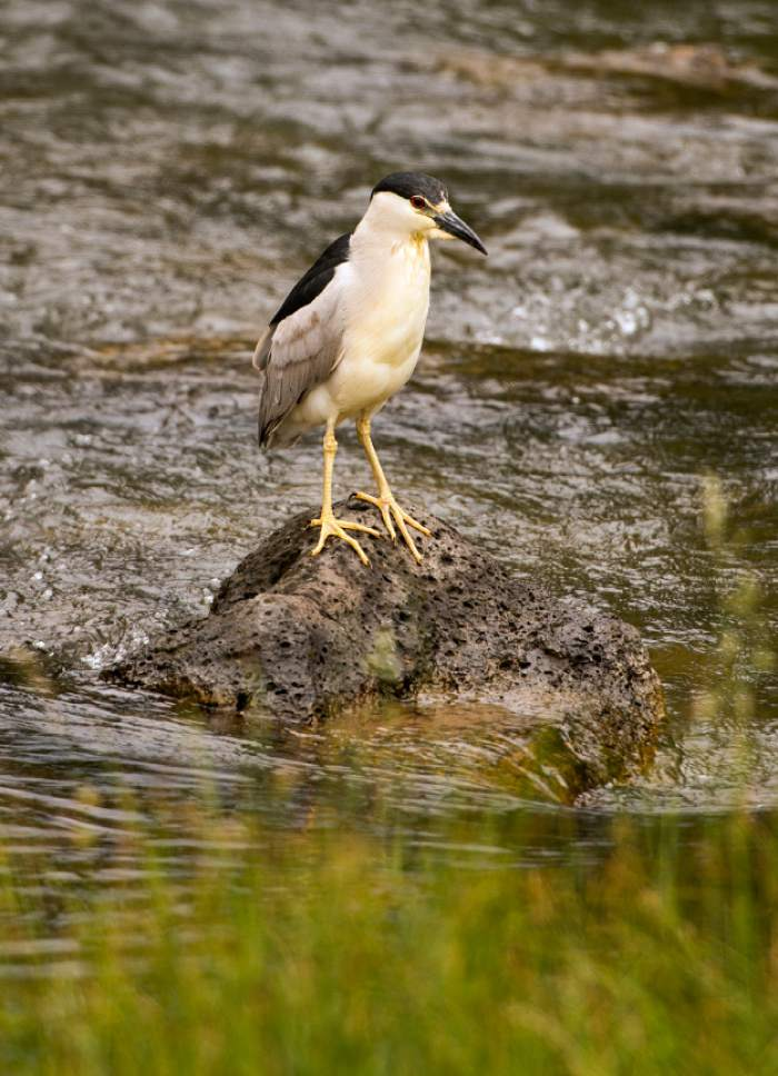 Leah Hogsten     The Salt Lake Tribune A Black-crowned Night Heron looks for a fish in Duck Creek, just south of Duck Creek Pond, next to Hwy. 14 in Dixie National Forest.