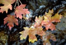 Ogden -- Fall leaves in a stream near Monte CristoRyan Galbraith/Photograph9/18/03, 6:51:03 PM