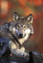 Courtesy of the U.S. Fish and Wildlife Service A gray wolf.