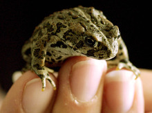 Tribune file photo Boreal toads breed in alpine ponds and feed on forest insects.