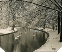 This undated photo shows swans at Liberty Park. Tribune file photo