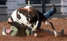 Rick Egan l The Salt Lake Tribune  Baxtor Roche, Bear River, competes in the steer wrestling competition at the Utah High School Rodeo Championship round in Heber City, Saturday, June 10, 2011.