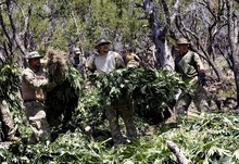 Djamila Grossman  |  The Salt Lake Tribune  Law enforcement officials remove marijuana plants grown illegally in the Fishlake National Forest near Beaver on Thursday, Aug. 18, 2011. Several agencies were involved in the operation. No growers were arrested.