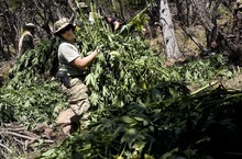 Djamila Grossman  |  The Salt Lake Tribune  Kelly Quernemoen, a special agent with the Drug Enforcement Agency, and other law enforcement officials gather marijuana plants during a pot bust in the Fishlake National Forest near Beaver on Thursday, Aug. 18, 2011. Several agencies were involved in the operation. No growers were arrested.