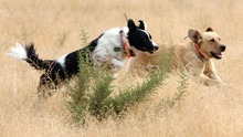 Steve Griffin  |  The Salt Lake Tribune Cadaver dogs Ni'jahn and Tug run together as authorities use dogs and ATVs to search for signs of Susan Powell in the area around Topaz Mountain in Juab County on Wednesday.