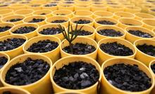 Rick Egan  | The Salt Lake Tribune   A whitebark pine seedling emerges in a greenhouse at the Coeur d'Alene Forest Nursery, Wednesday, June 29, 2011.