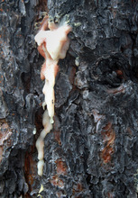Rick Egan    The Salt Lake Tribune   Pitch from a ponderosa pine indicates where beetles tried an attack and the tree pushed back with toxic goo.
