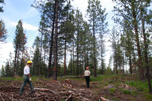 Rick Egan    The Salt Lake Tribune   Forest Service employees Nancy Sturdevant and Cheri Hartless walk through a thinned stand of ponderosa pines above Lake Como, Mont., on Monday, Aug. 1, 2011.