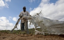 Titus Howard of Birmingham, Ala., pulls plastic from fields as he tries his hand at field work in Steele, Ala., Thursday, Oct. 20, 2011. Howard took on the job after migrant workers fled the area because of the stiff new Alabama immigration law, leaving many farmers without enough help to harvest their crops. (AP Photo/Dave Martin)