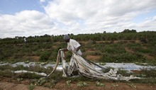 Titus Howard of Birmingham, Ala., pulls plastic from fields as he tries his hand at field work in Steele, Ala., Thursday, Oct. 20, 2011. Howard took on the job on a produce farm after migrant workers fled the area because of the stiff new Alabama immigration law, leaving many farmers without enough help to harvest their crops. (AP Photo/Dave Martin)