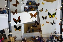 Steve Griffin  |  The Salt Lake Tribune   A giant display case holds butterflies and other items in the new Natural History Museum of Utah in Salt Lake City, Utah Saturday, November 5, 2011.